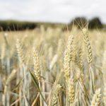 australian wheat
